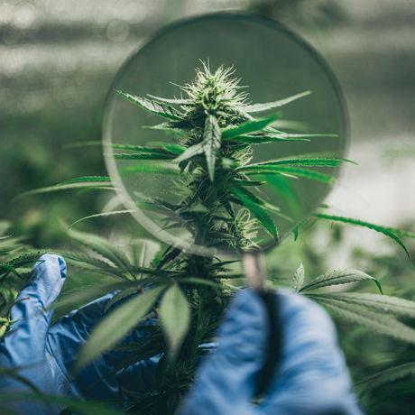 The Wide World of Weed Strains
